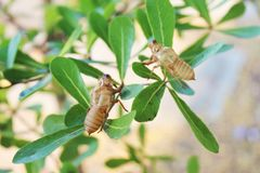 Cicada molting in tree. molt stock image
