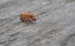 Cicada molting Stock Image