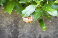 Cicada moult 3 Royalty Free Stock Photography