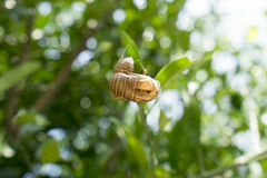 Cicada moult 2. Close up cicada moult on green leaf Stock Image