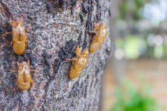 Cicada moulting Royalty Free Stock Images