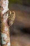Cicada in nature Royalty Free Stock Photography