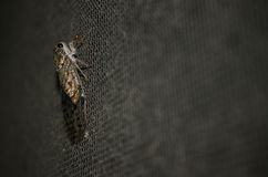 Cicada on net Royalty Free Stock Photos