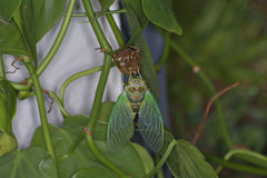 Cicada. A newly formed cicada Royalty Free Stock Photos