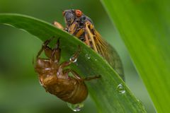 Cicada with Nymphal Skin Stock Photos