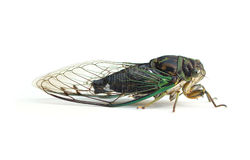Cicada On A White Background Stock Photos