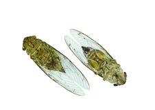 Cicada (order Hemiptera,suborder Auchenorrhyncha). Royalty Free Stock Photo