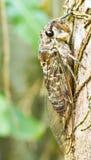 Cicada (order Hemiptera,suborder Auchenorrhyncha). Stock Image