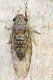 Cicada (order Hemiptera,suborder Auchenorrhyncha). Stock Images