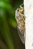 Cicada (order Hemiptera,suborder Auchenorrhyncha). Royalty Free Stock Photos