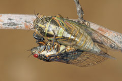 Cicada Royalty Free Stock Photo