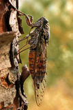 Cicada on a pine. Side view of a cicada singing on a pine (with sharp macro detail Stock Photos