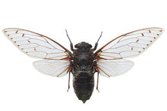 Cicada Pomponia Intermedia Isolated On White Royalty Free Stock Photo