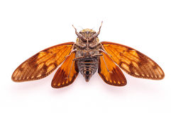 A cicada positive close-up. On white print paper Royalty Free Stock Photos