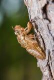 Cicada pupal case Stock Image