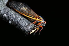 Cicada with red eyes Stock Image
