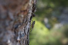 Cicada resting on a tree. Cicada resting on tree bark in the shade royalty free stock photography