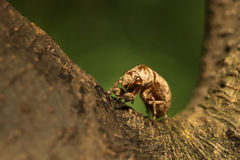 Cicada's exuviate. A cicada's exuviate on the tree Royalty Free Stock Photography