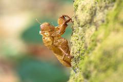The Cicada's Remains Royalty Free Stock Photography