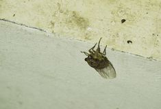 Cicada seek for mate in summer night hanging on wall stock images