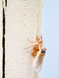 Cicada seventeen year - newly molted Royalty Free Stock Photo