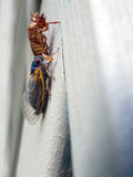Cicada seventeen year - newly molted Stock Image