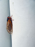 Cicada seventeen year Royalty Free Stock Images