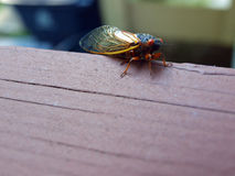 Cicada seventeen year Stock Photo