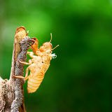 Cicada shedding its shell Royalty Free Stock Photography