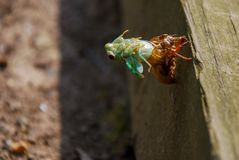 A Cicada shedding the nymph exoskeleton. A teal Cicada shedding the exoskeleton of its nymph cycle. Free from its old skin the wings and skin will harden into stock photo