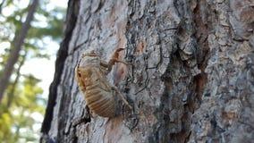 Cicada sheds on a pine side angle. Cicada sheds on a pine tree close up Royalty Free Stock Photography