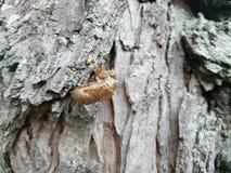 Cicada Shell στοκ εικόνες