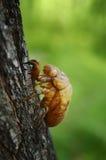 Cicada shell Stock Image