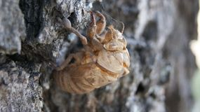 Cicada Shell Royalty Free Stock Photos