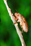 Cicada shell Royalty Free Stock Image