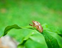 Cicada shell . Royalty Free Stock Photos