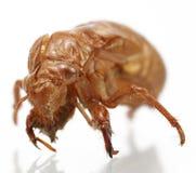 Cicada Shell Royalty Free Stock Image