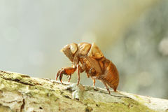 Cicada shell Stock Photos