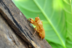 Cicada shell Royalty Free Stock Images