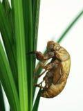 Cicada shell Stock Photos
