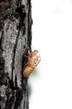 Cicada shell Stock Photo