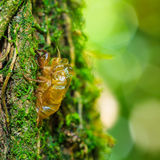 Cicada shell Royalty Free Stock Photos