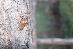 A Cicada shell hang on tree trunk. Selective focus of a Cicada shell hang on tree trunk stock photo