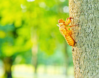 Cicada shell moult hanging Stock Photography