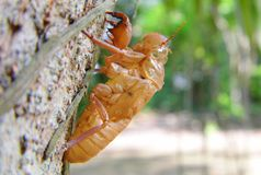 Cicada shell moult on tree Royalty Free Stock Image