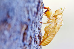 Cicada shell moult Stock Images
