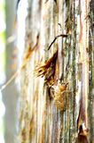 Cicada Shell. On a pine tree, Kawakuchigo, Japan Royalty Free Stock Photos