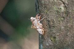 Cicada shell stuck in tree. Side view. Royalty Free Stock Photography