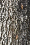 Cicada shell on the tree bark Stock Photos