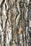 Cicada shell on the tree bark Royalty Free Stock Images